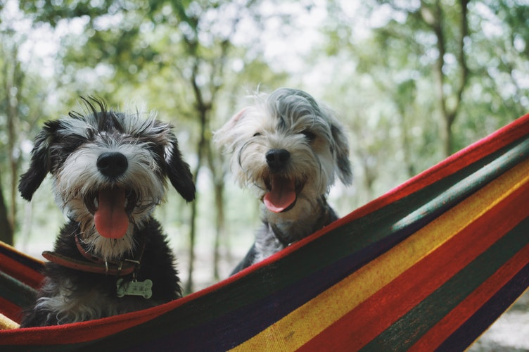 Hounds Hanging out on a Hammock