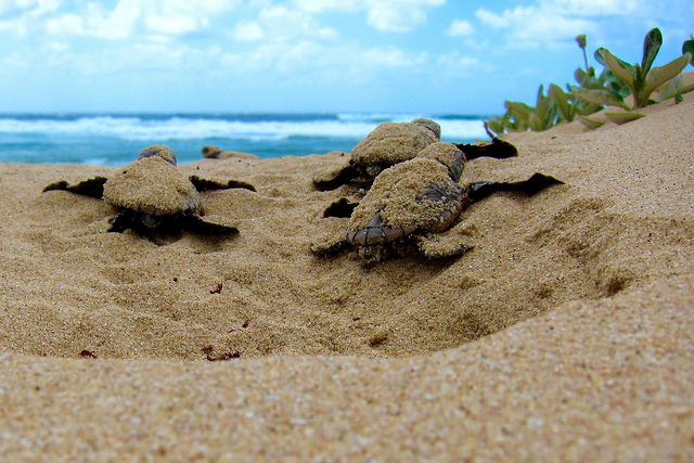 Sea turtles are nesting on the Yucatan beach